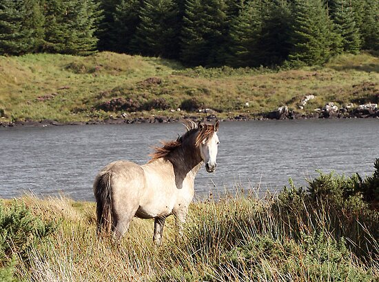 Connemara Pony in the Irish Countryside 2 by ConnemaraPony