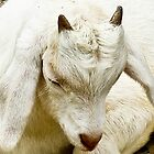The Baby Goat Nap by mamasita