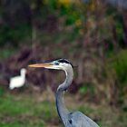 Great Blue Heron by RBuey