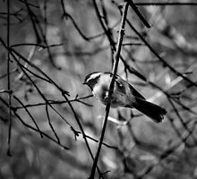 Black-capped Chickadee - B&W by PhotosByHealy