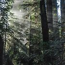 foggy sunrise in the redwoods by Jeannie Peters