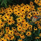 Black-eyed-Susans by Kathy Weaver