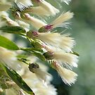 Groundsel Bush by Dawne Dunton