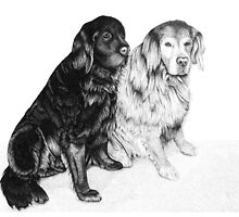 Charlie and Alfie - Golden Retrievers by Paul Stratton