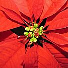 Proud Poinsettia by Monnie Ryan