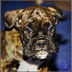 Chestafield Boxer Puppy by Wolf Sverak