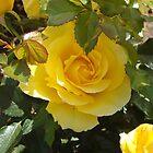 Yellow Rose of California by Docharmony