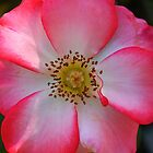 Pink Betty Boop Rose by reneecettie