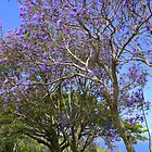 Jacaranda Tree Full Bloom by reneecettie