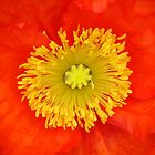 Eye Popping Orange Poppy #2 by reneecettie