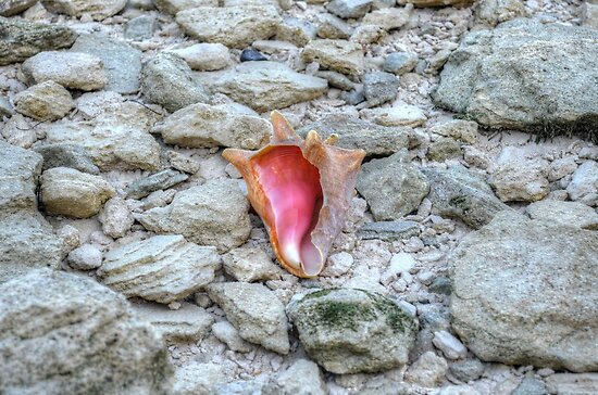 Lonely Conch on The Shore in Nassau, The Bahamas by 242Digital