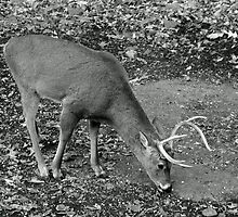 White-Tailed Deer - Buck - Odocoileus virginianus by MotherNature