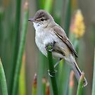 Clamorous Reed Warbler in the reeds at Lake Crackenback by Alwyn Simple