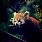 Red Panda by Eoghansandberg