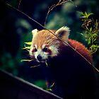 Red Panda by Eoghansandberg