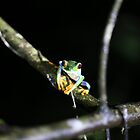Gaudy Tree Frog by David Spector