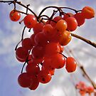 Red Berries by Shulie1