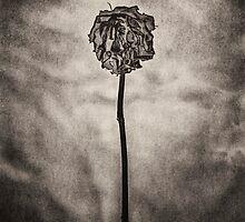 Rose by photosmoo