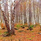 Silver Birch - Autumn - Arne Heath by Gary Heald LRPS