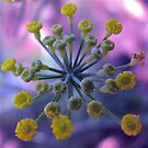 dill flower by wendy lamb