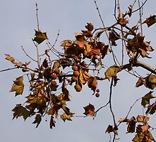 Autumn Leafs and a blue Sky by brijo