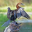 REED CORMORANT by Raoul Madden