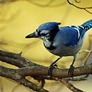 Blue Jay by Bine