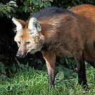 Maned Wolf .. A Fox in disguise  by John44