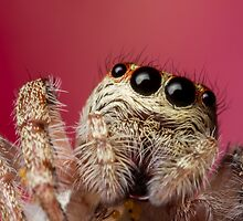 (Servaea vestita) Jumping Spider On Flower #4 by Kerrod Sulter