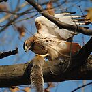 Redtail Hawk Hunting: After the Kill by Thomas Mckibben