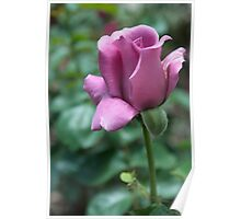 lavender tea rose Poster