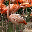 Flamingo by Leanne Allen