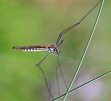 Crane Fly Macro by Donovan wilson