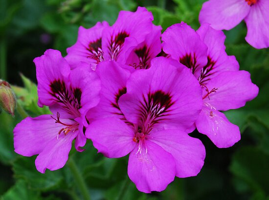 Geraniums by Ron Hannah