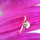 Tiny Spider on a Pink Flower by lindsycarranza