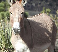 Wild Burro 3 by Darcy Grizzle