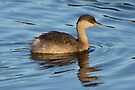 Hoary Headed Grebe (Non-breeding Plumage) taken Lake Crackenback by Alwyn Simple