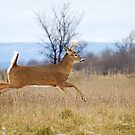 Buck on the Run 1 by Jim Cumming