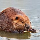 The Canadian Beaver by Chris  Gale