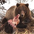 Grizzly Bear Eating Buffalo  by Chris  Gale