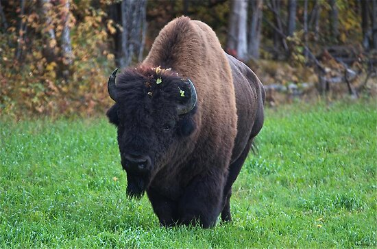 The Wood Bison by Chris  Gale