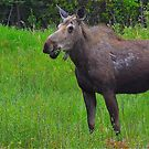 The Cow Moose by Chris  Gale