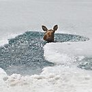 Moose Stuck In Ice by Chris  Gale