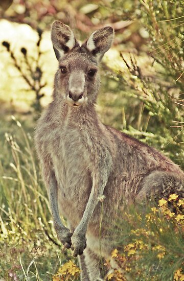 20090107 - DSC05633 - Googong Roo d by tmac