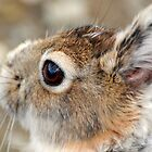 Snowshoe Hare by Caren della Cioppa