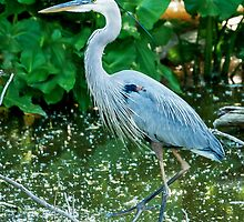 Great Blue Heron by StonePhotos