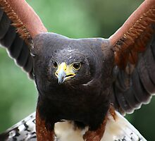 Harris' Hawk by Colin Shepherd