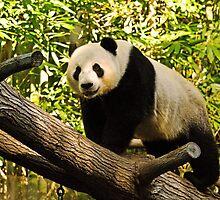 Panda! by Thad Zajdowicz