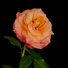 Blushing Rose-iPad by onyonet photo studios