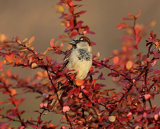 Male House Sparrow by Larry Baker